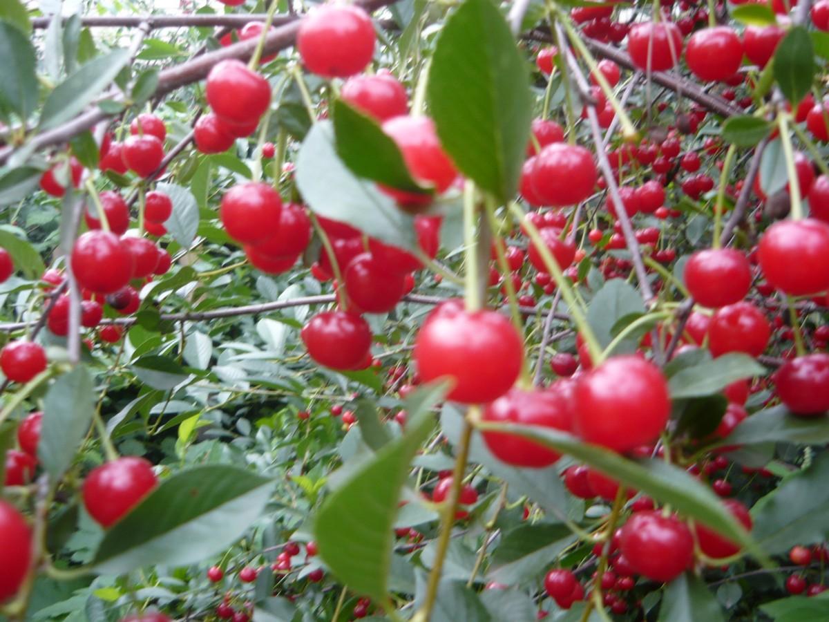 известно, что вишня алтайская фото порцией джина